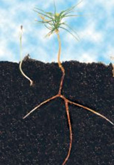 Mycorrhizal root system graphically removed