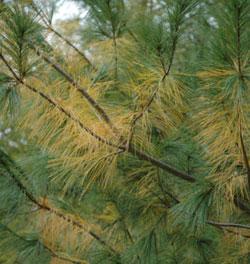 Seasonal needle drop