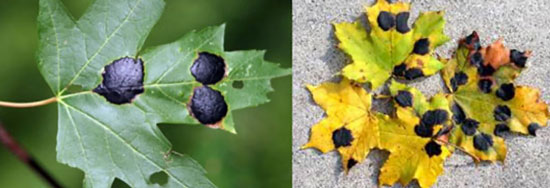 Maple Tar Spot Disease