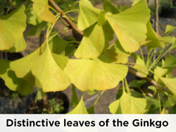 Ginko tree leaves