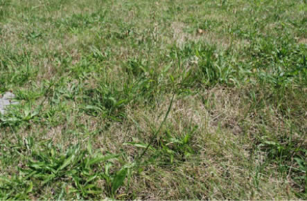 Herbicide resistant weeds in turf