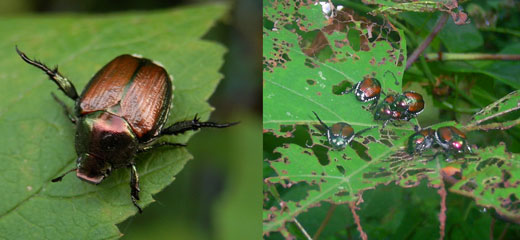 Japanese Beetles - source Wikipedia