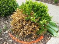Winter Damaged Evergreen