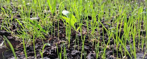 Grass seed germination